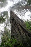 Sequoia Trees. Upward looking view of sequoia trees on a foggy morning royalty free stock photos