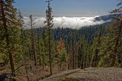 Sequoia trees in Yosemite National Park. View from mountain looking at Sequoia trees in Yosemite National Park, California, USA royalty free stock photo