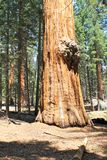 Sequoia trunk Royalty Free Stock Photography