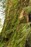 Sequoia Trunk covered with Moss Royalty Free Stock Image