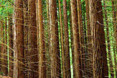 Sequoia trunks. Detail of young sequoia forest Royalty Free Stock Photography
