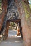 Sequoia Stock Image