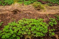 Sequoia vermelha da floresta primária que decompõe no assoalho o mais froest fotografia de stock