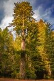 Sequoia vermelha gigante com o céu dramático em Califórnia do norte com o carro estacionado perto dele para mostrar o tamanho foto de stock