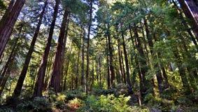 Sequoia vermelhas em Muir Woods Imagens de Stock Royalty Free