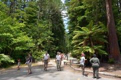 Sequoia vermelhas em Rotorua Nova Zelândia Fotos de Stock