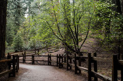 Sequoia Walkway Royalty Free Stock Image