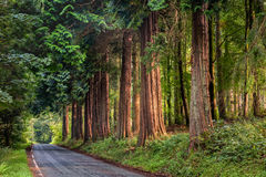 Sequoia wood at lake Vyrnwy in Wales, United Kingdom Stock Image