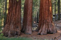 Sequoia Royalty Free Stock Image