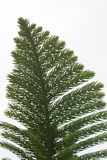 Sequoiablad på whithebakgrund Royaltyfri Foto