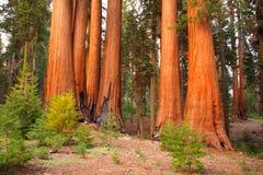 Sequoiabomen bij zonsondergang stock foto's