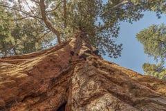 Sequoiaboom Royalty-vrije Stock Afbeelding