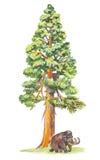 Sequoiadendron (árvore gigantesca) Imagens de Stock