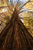 Sequoiadendron giganteum, Giant Sequoia tree trunk reaches up to the blue sky Royalty Free Stock Image