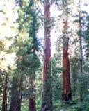 Sequoiamedborgare Forest Park arkivfoto