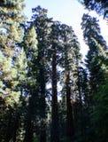 Sequoiamedborgare Forest Park arkivfoton