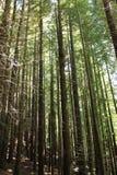 Sequoias δάσος Στοκ Εικόνες