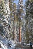 Sequoias γιγάντων επισκέπτες Στοκ Φωτογραφία