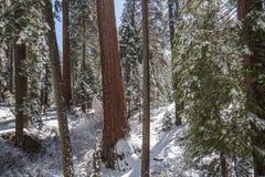 Sequoias ΙΙ γιγάντων Στοκ φωτογραφία με δικαίωμα ελεύθερης χρήσης