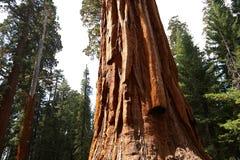 Sequoias στο άλσος Mariposa, εθνικό πάρκο Yosemite στοκ εικόνα