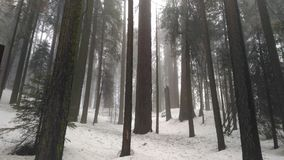 Sequoias στο μεγάλο δάσος Στοκ Φωτογραφία