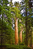Sequoias in beautiful sequoia national park Royalty Free Stock Images