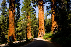 Sequoias in beautiful sequoia national park Stock Photos