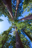 Sequoias in California view from below. At Mariposa Grove of Yosemite USA royalty free stock image