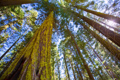 Sequoias in California view from below. At Mariposa Grove of Yosemite USA royalty free stock photo