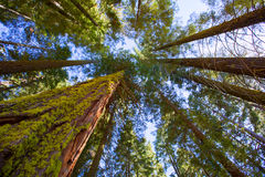 Sequoias in California view from below. At Mariposa Grove of Yosemite USA stock photo
