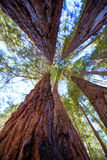 Sequoias in California view from below. At Mariposa Grove of Yosemite USA royalty free stock images