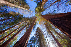 Sequoias in California view from below. At Mariposa Grove of Yosemite USA royalty free stock photography