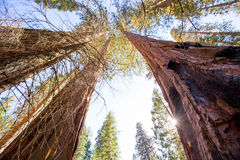 Sequoias in California view from below. At Mariposa Grove of Yosemite USA stock photos