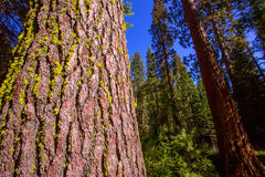 Sequoias in Mariposa grove at Yosemite California Royalty Free Stock Photos