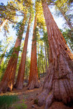 Sequoias in Mariposa grove at Yosemite National Park. Sequoias Bachelor and three Graces in Mariposa Grove at Yosemite National Park California royalty free stock photography