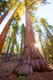 Sequoias in Mariposa grove at Yosemite National Park. Sequoias Bachelor and three Graces in Mariposa Grove at Yosemite National Park California royalty free stock images