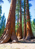 Sequoias in Mariposa grove at Yosemite National Park. Sequoias Bachelor and three Graces in Mariposa Grove at Yosemite National Park California stock photo