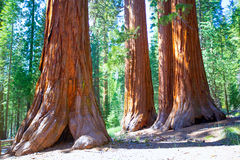 Sequoias in Mariposa grove at Yosemite National Park. Sequoias Bachelor and three Graces in Mariposa Grove at Yosemite National Park California Stock Photography