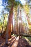 Sequoias in Mariposa grove at Yosemite National Park. California stock photo