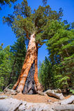 Sequoias in Mariposa grove at Yosemite National Park Royalty Free Stock Photos