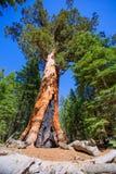 Sequoias in Mariposa grove at Yosemite National Park. California royalty free stock photos