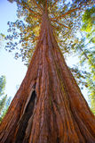 Sequoias in Mariposa grove at Yosemite National Park Stock Images