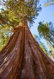 Sequoias in Mariposa grove at Yosemite National Park. California royalty free stock image