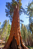 Sequoias in Mariposa grove at Yosemite National Park Stock Photos