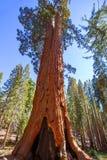 Sequoias in Mariposa grove at Yosemite National Park. California stock photos