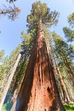 Sequoias in Mariposa Grove, Yosemite National Park Stock Photography