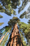 Sequoias in Mariposa Grove, Yosemite National Park Stock Images