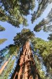 Sequoias in Mariposa Grove, Yosemite National Park. Sequoias in Mariposa Grove of Yosemite National Park, California, USA stock images