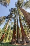 Sequoias in Mariposa Grove, Yosemite National Park. Sequoias in Mariposa Grove of Yosemite National Park, California, USA stock photos