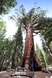 Sequoias at Mariposa Grove, Yosemite national park Royalty Free Stock Images